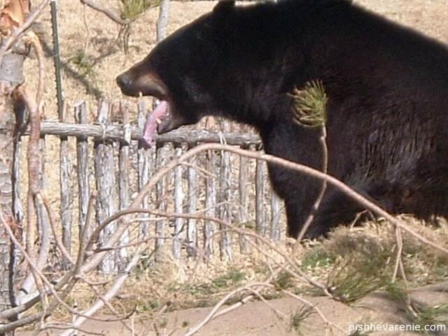 Кислота урсодезоксихолевая – или почему медведи не болеют циррозом печени