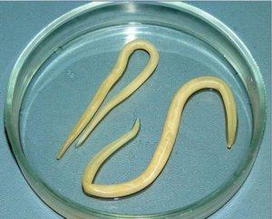 вермокс от паразитов в печени