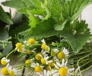 Мелисса и ромашка необходимы для травяных сборов