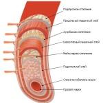 Длина тонкого кишечника, его строение и распространенные заболевания