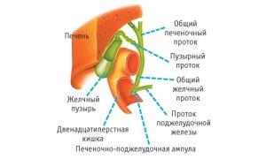 расположение желчного пузыря в организме