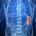 Рядом с какими органам расположена селезенка, для чего она нужна организму