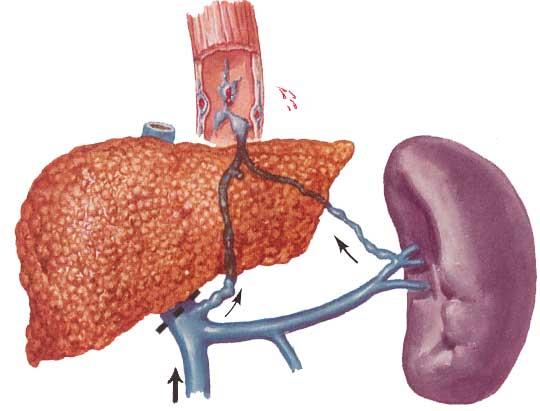 Селезенка: зачем нужен орган, нормальные размеры селезенки и причины отклонений в размерах