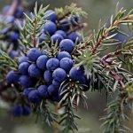 Можжевельник: польза и вред ароматной ягоды