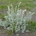 Трава полынь: лечебные свойства и применение в медицине