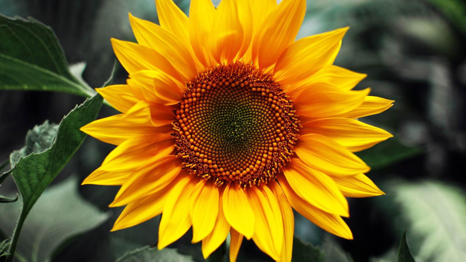 Солнечный цветок: чем полезны семена подсолнечника
