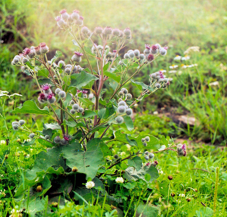 Лопух – лекарственное растение, его лечебные свойства