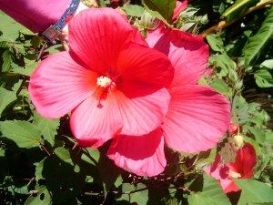 Гибискус: полезные свойства, применение в медицине