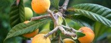Мушмула – это плод, известный как средство народной медицины