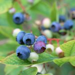 Чем полезна ягода ирга, описание растение и состав продукта