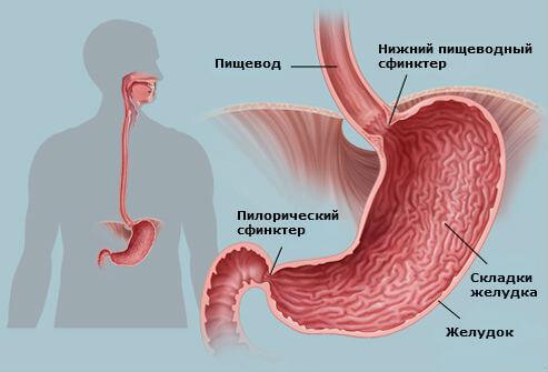 Почему размер желудка взрослого человека индивидуален