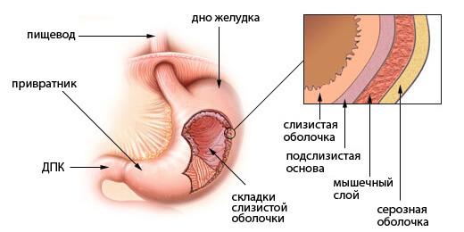 Каким должен быть объем желудка взрослого человека