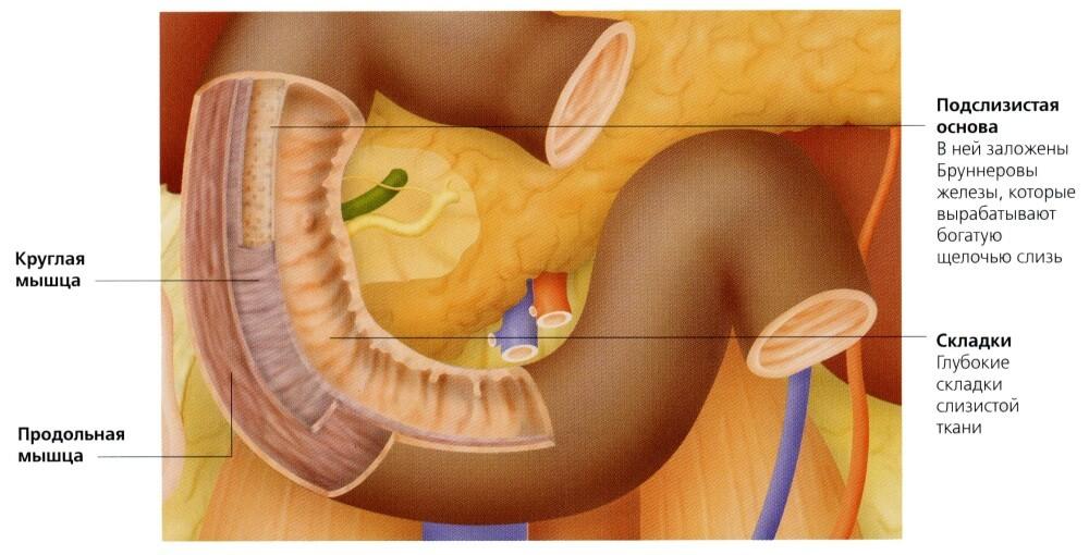Анатомия кишечника человека: что к чему