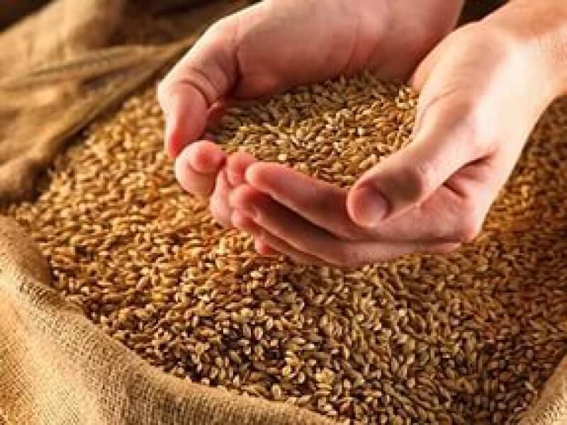 Масло проросшей пшеницы: применение в медицине и не только