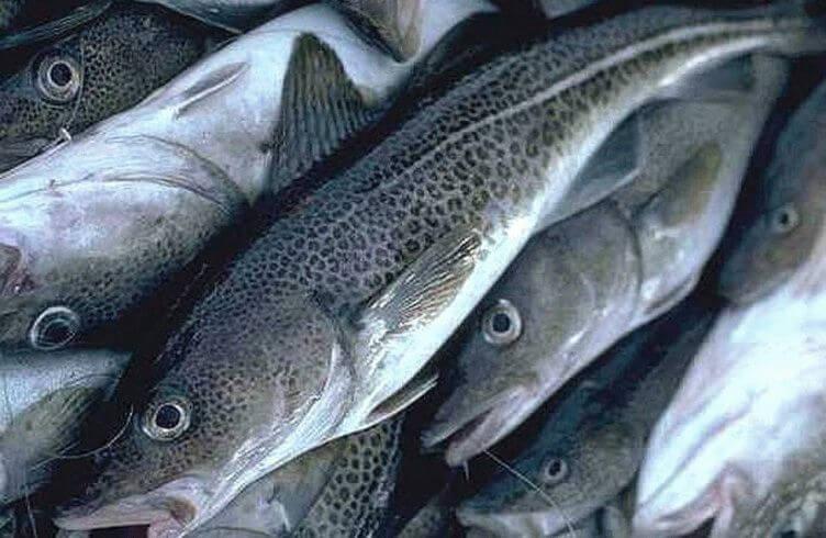Чем полезна треска, польза и вред, калорийность рыбы, примеры диетических блюд