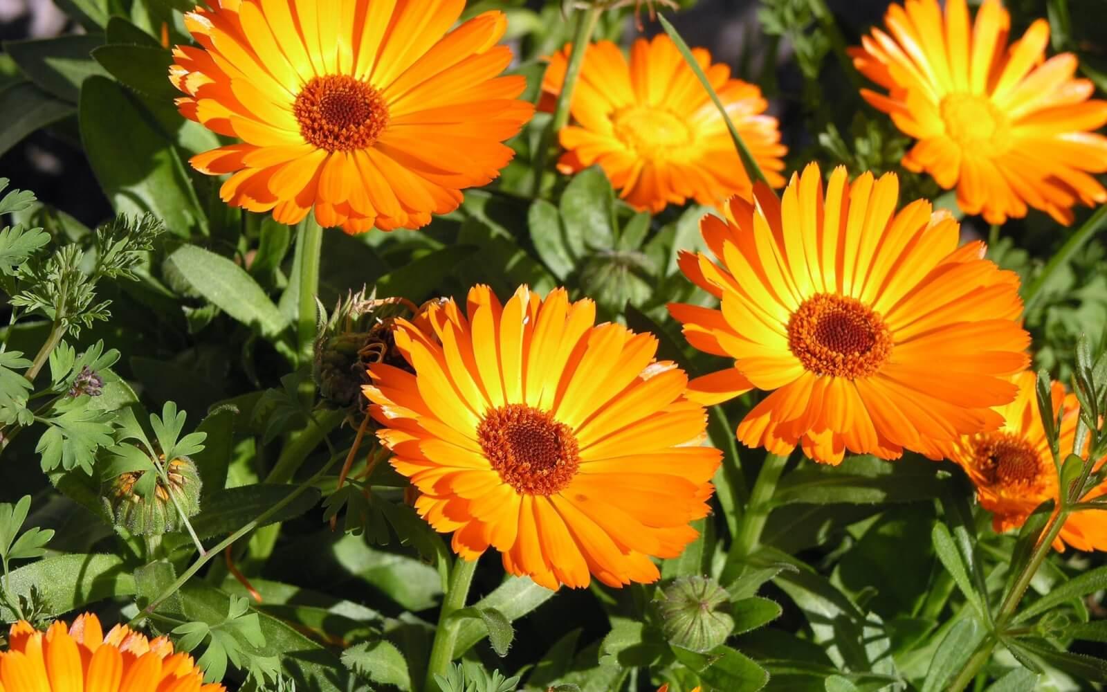 Лекарственные свойства календулы: что и как лечит растение