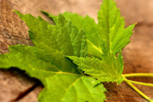 Листья черной смородины: полезные свойства для взрослых и детей